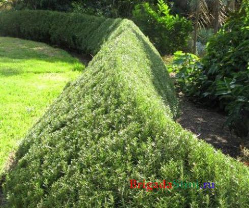 Растения изгороди можжевельник фото